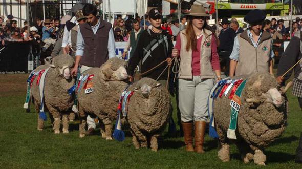 Desfile de ganadores rubro ovino. Foto: ExpoPrado 2014.